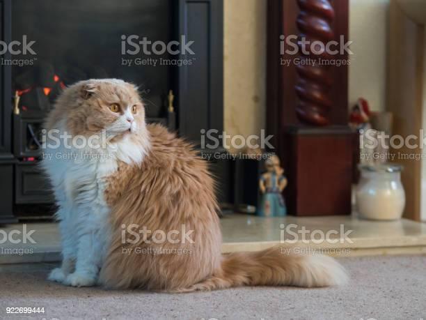 Furry scottish fold breed cat picture id922699444?b=1&k=6&m=922699444&s=612x612&h=gbal0qwdbzye5nf5gnfnzmg5uahcrrbqgoboj1 f 5i=