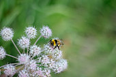 A furry striped bumblebee sits on a poisonous white flower of a water Hemlock on a green background. Textured wings. Close-up. Poisonous plant.