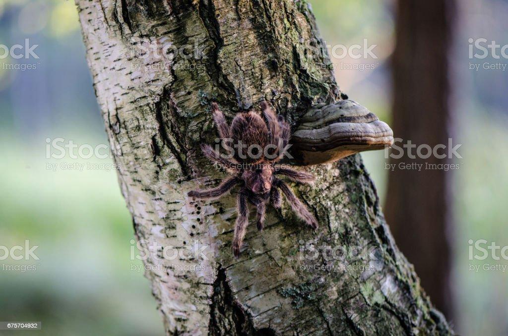 Furry tarantula alfresco walking along the tree trunk. royalty-free stock photo