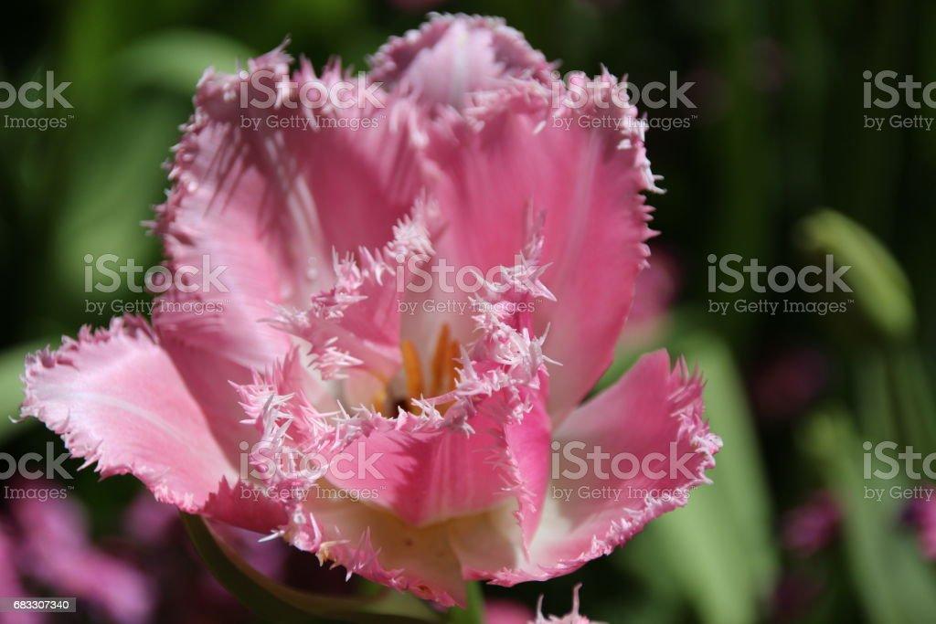 furry tulip zbiór zdjęć royalty-free
