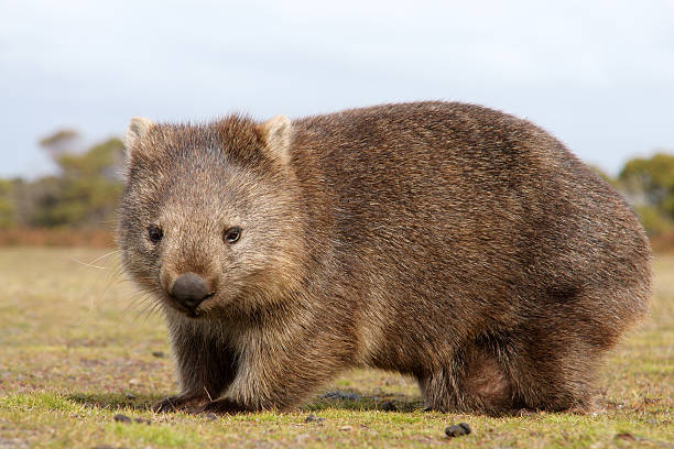 a furry wombat close-up outdoors - wombat stock photos and pictures