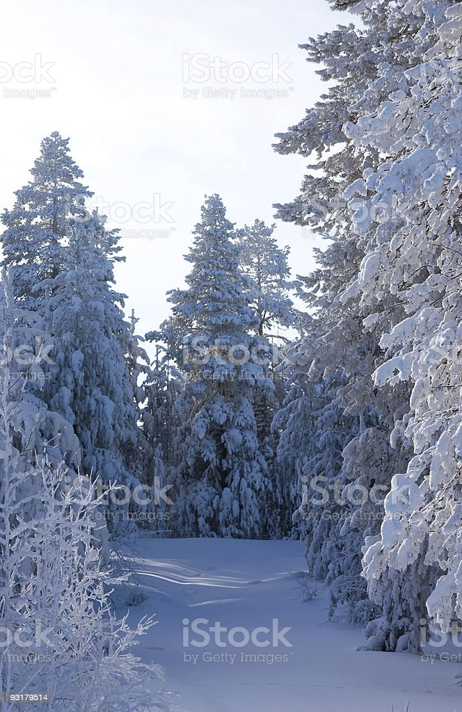 fur-trees and pines royalty-free stock photo