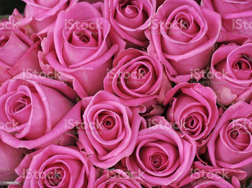 Fuschia colored roses stock photo
