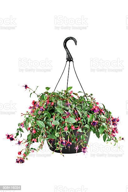 Fuschia in a hanging pot picture id508416034?b=1&k=6&m=508416034&s=612x612&h=wbkidgo0uf qupcp1p3pm135wu5t9epegwz0qetlnik=