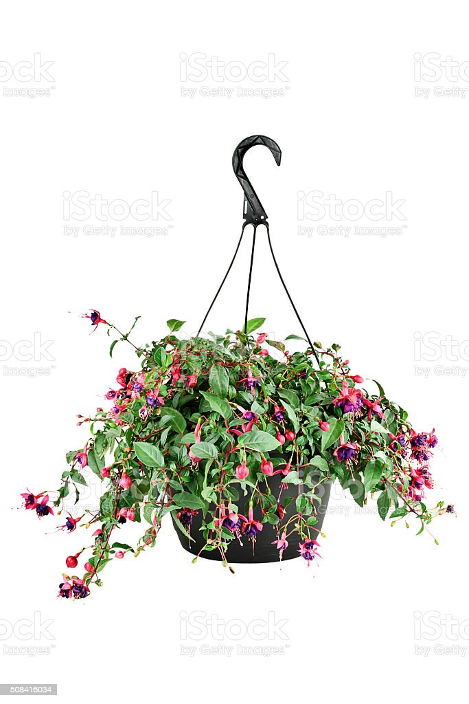 Fuschia in a Hanging Pot stock photo