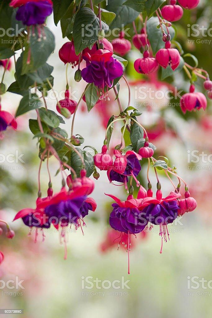 Fuschia royalty-free stock photo