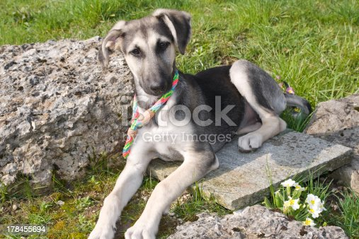 A greyhound cross shepherd puppy lying on the hot stone quietly attached with his leash in grass looking at the camera. It is a future watchdog for home, but for now, he's so cute, he isn't afraid.