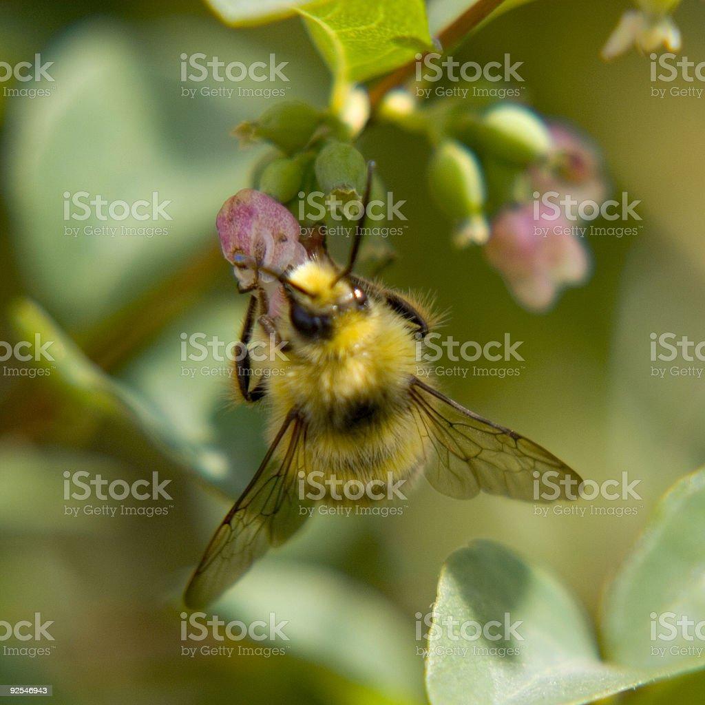 Fuzzy Bumble Bee stock photo