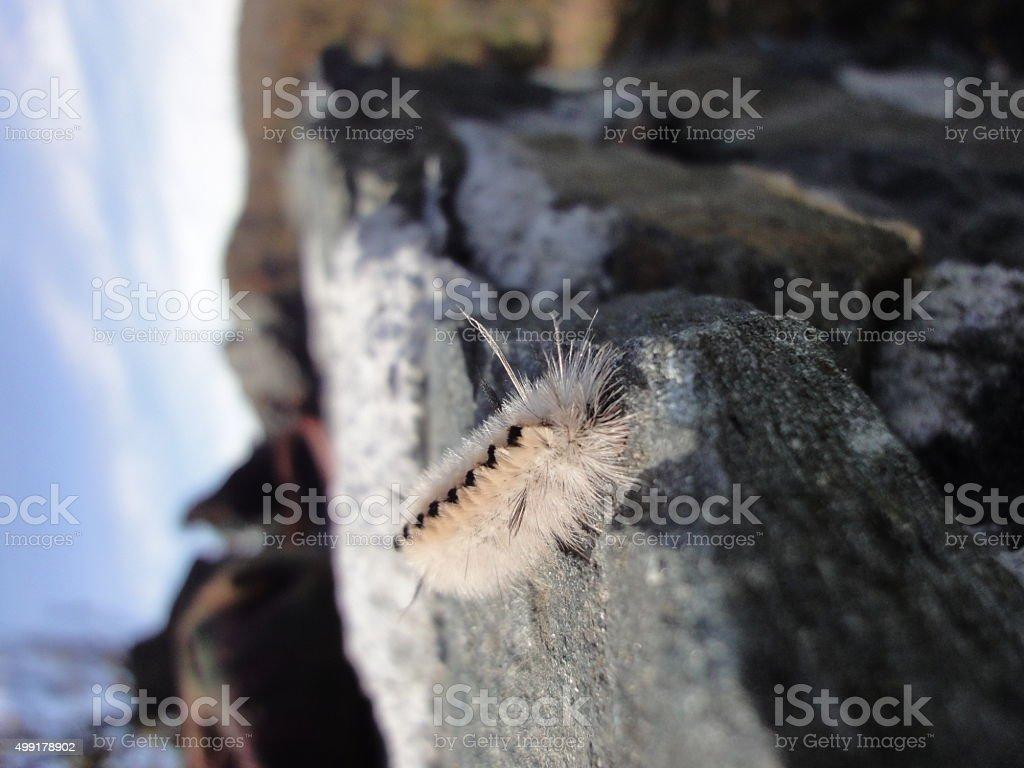 Fuzzy Caterpillar on Rock stock photo