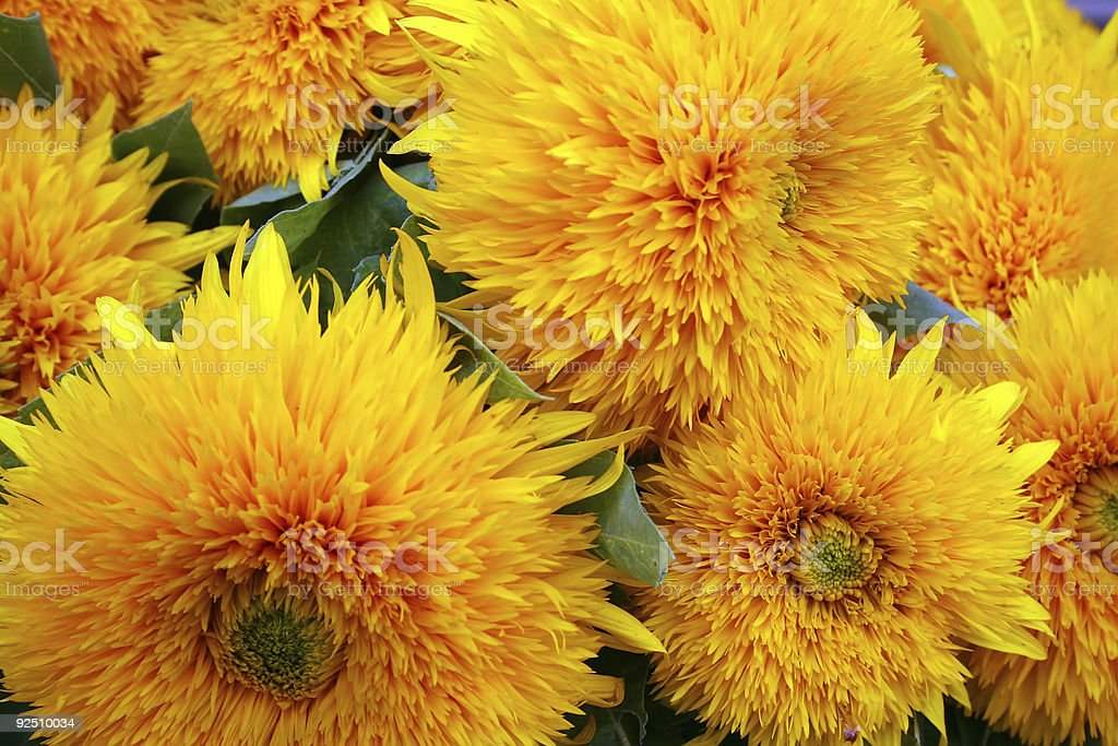 Fuzzy Sunflowers royalty-free stock photo