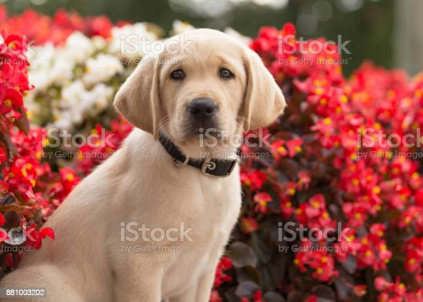 Fuzzy yellow lab puppy sitting in front of flowers picture id881003202?b=1&k=6&m=881003202&s=612x612&h=oumbshpyiprqpjw8 fuvsg ujg7upz61nxqvyoxzsrc=