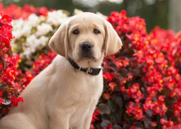Fuzzy yellow lab puppy sitting in front of flowers stock photo