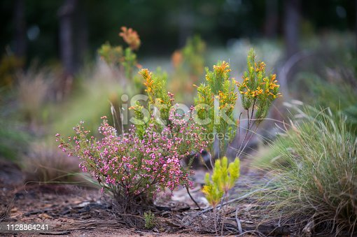 Fynbos blooming flowering plants low angle view defocussed background Cape Winelands South Africa