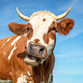 Funny portrait of a mooing cow, with open mouth and large horns and a blue background..