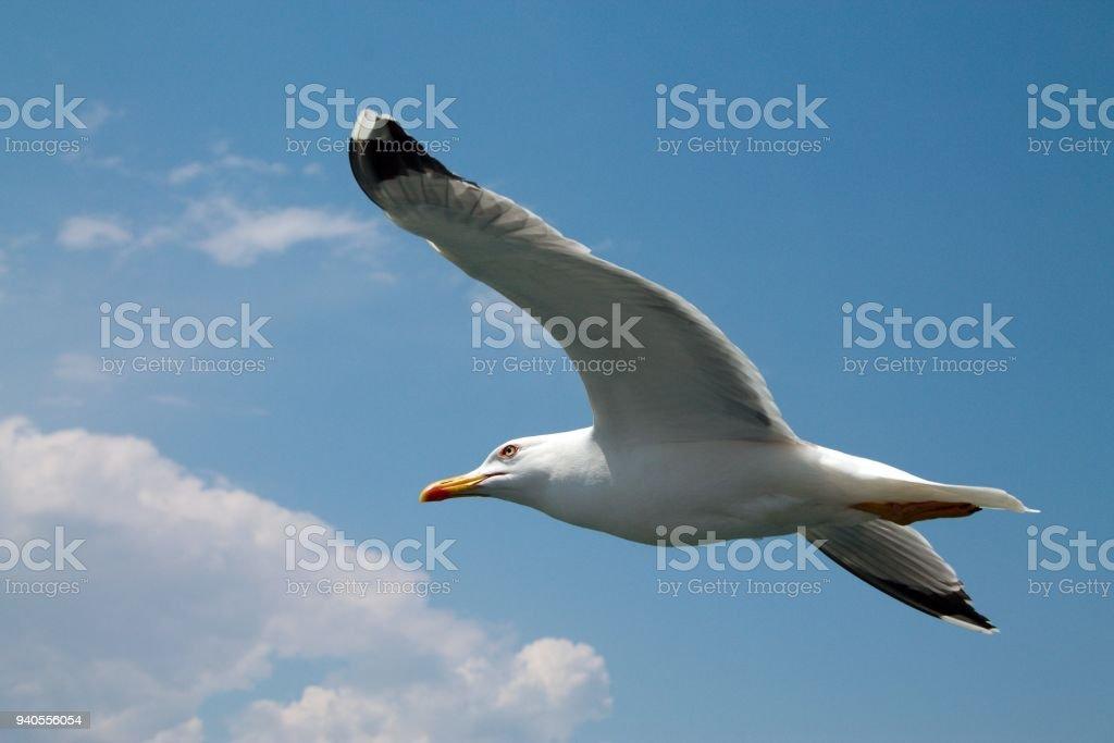 Gabbiano in volo - foto stock