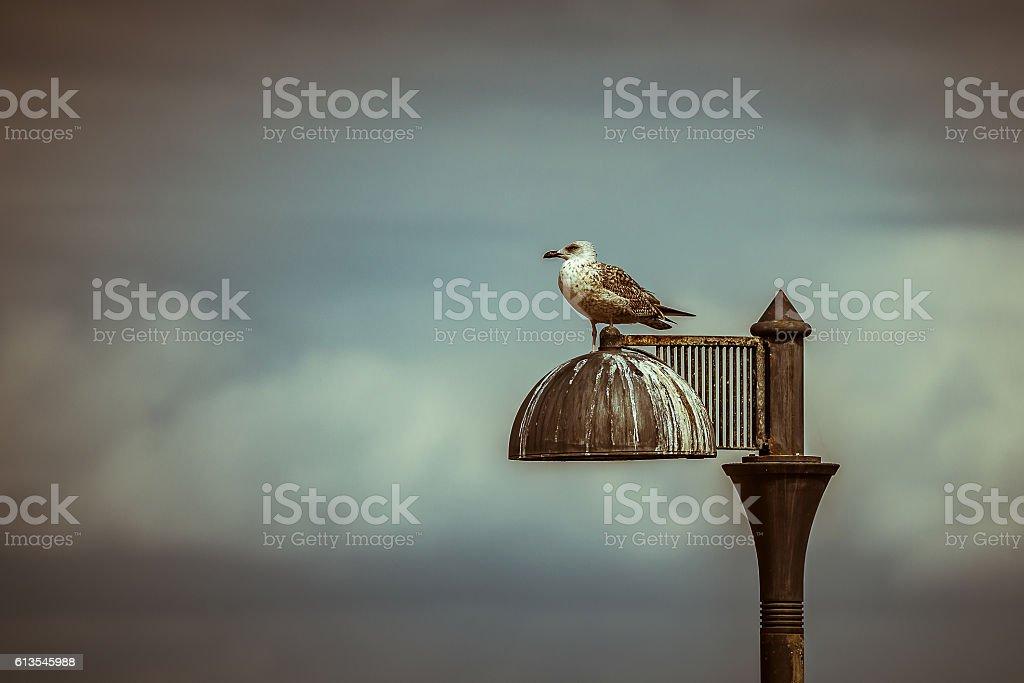Gabbiano solitario stock photo