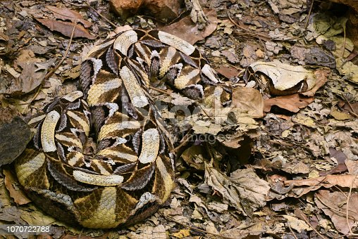"""Almost perfect camouflage of the Gaboon viper (Bitis gabonica), resting on leaves in Zimbabwe, South Africa. Light colored """"leaf"""" near the center is actualy a head of this highly venomous and the largest viper in Africa, which can reach lenght of 2 meters and 20 kg weight. It is responsible for causing the most snakebite fatalities in Africa."""