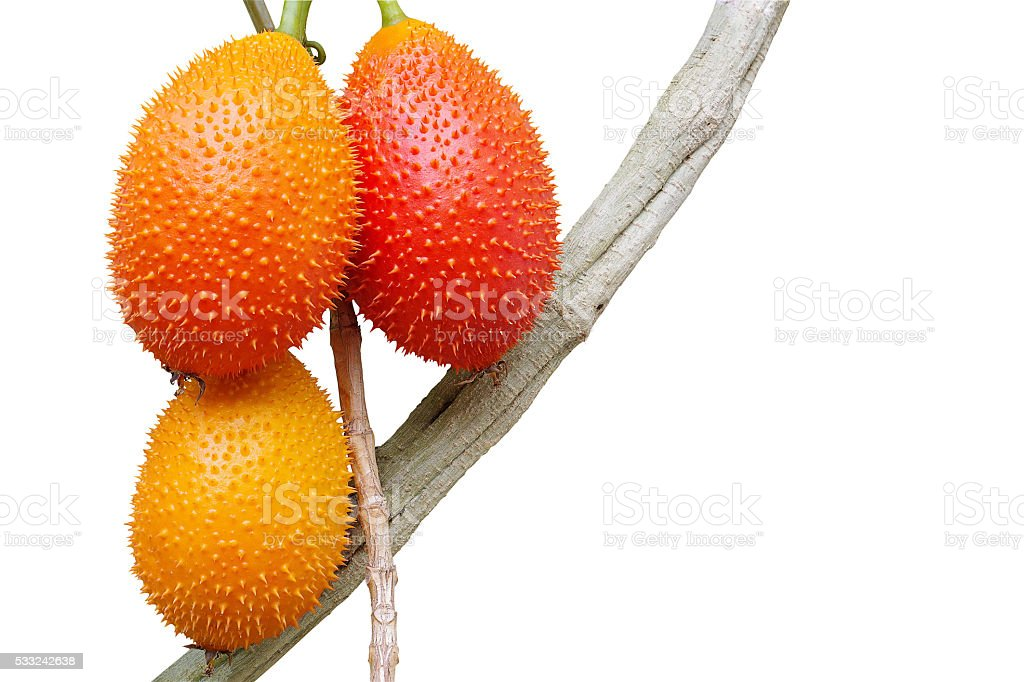 Gac fruits, Momordica cochinchinensis, on it's vine isolated on stock photo