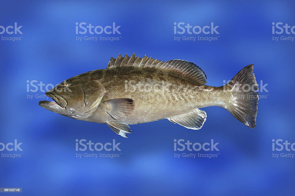 Gag Grouper Fish royalty-free stock photo
