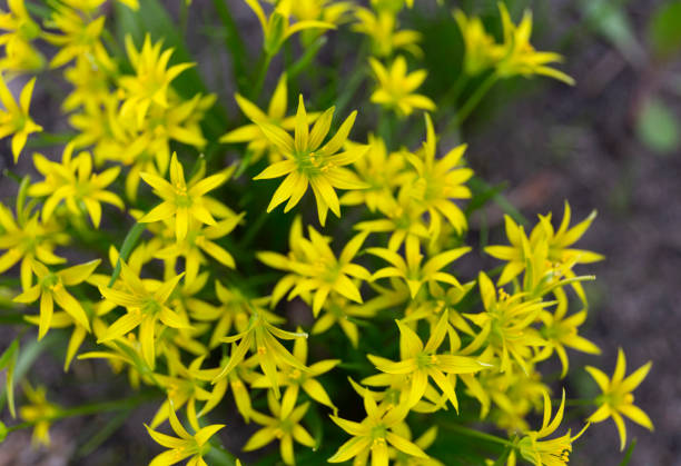 Gagea lutea or the Yellow Star-of-Bethlehem in the spring park stock photo