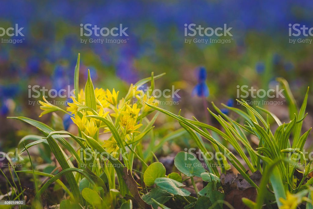 Gagea lutea or Yellow Star-of-Bethlehem flowers stock photo