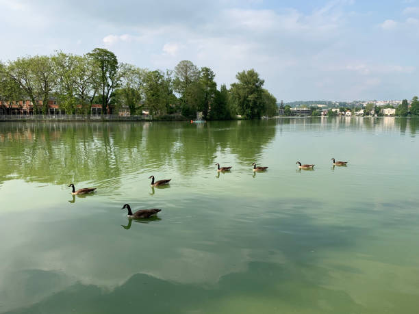 A gaggle of geese having a swim. stock photo