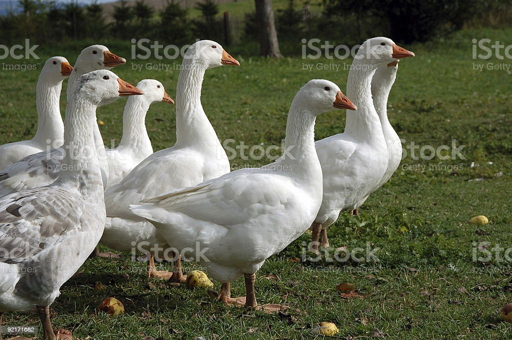 Gaggle of geese stock photo