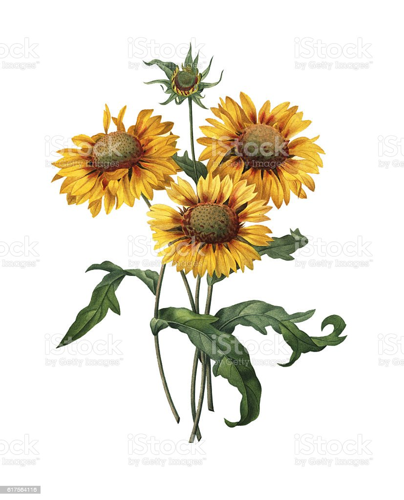 Gaillardia | Antique Flower Illustrations stock photo