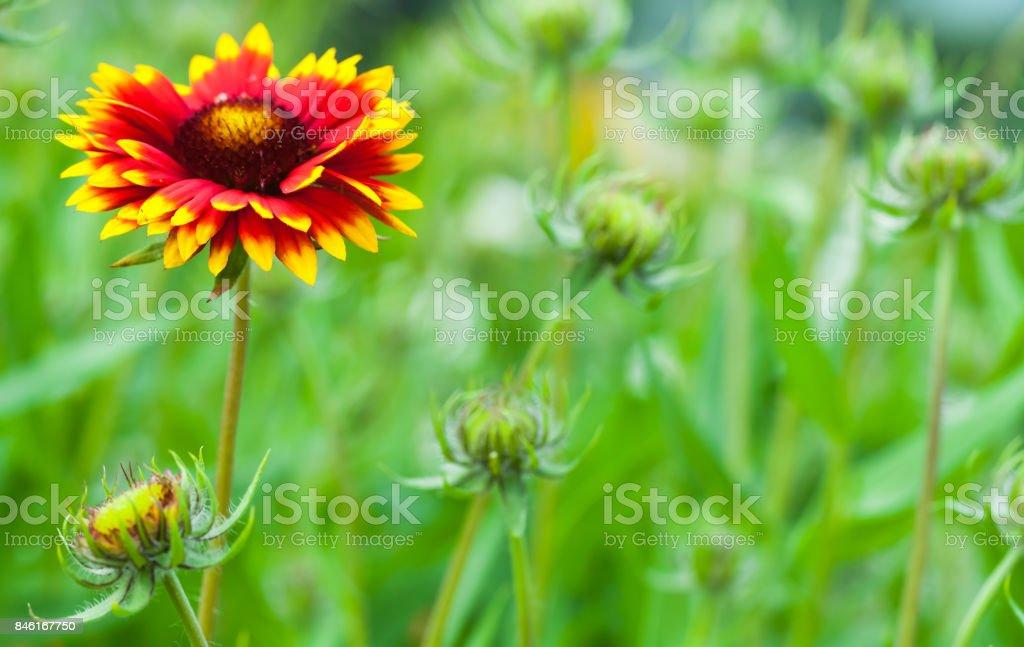 Gaillardia aristata, blanket flower, flowering plant stock photo