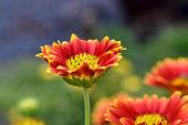 Gaillardia aristata flowering wild plant, red and yellow blanketflower with blue background