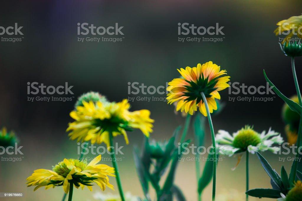 Gaillardia aristata stock photo