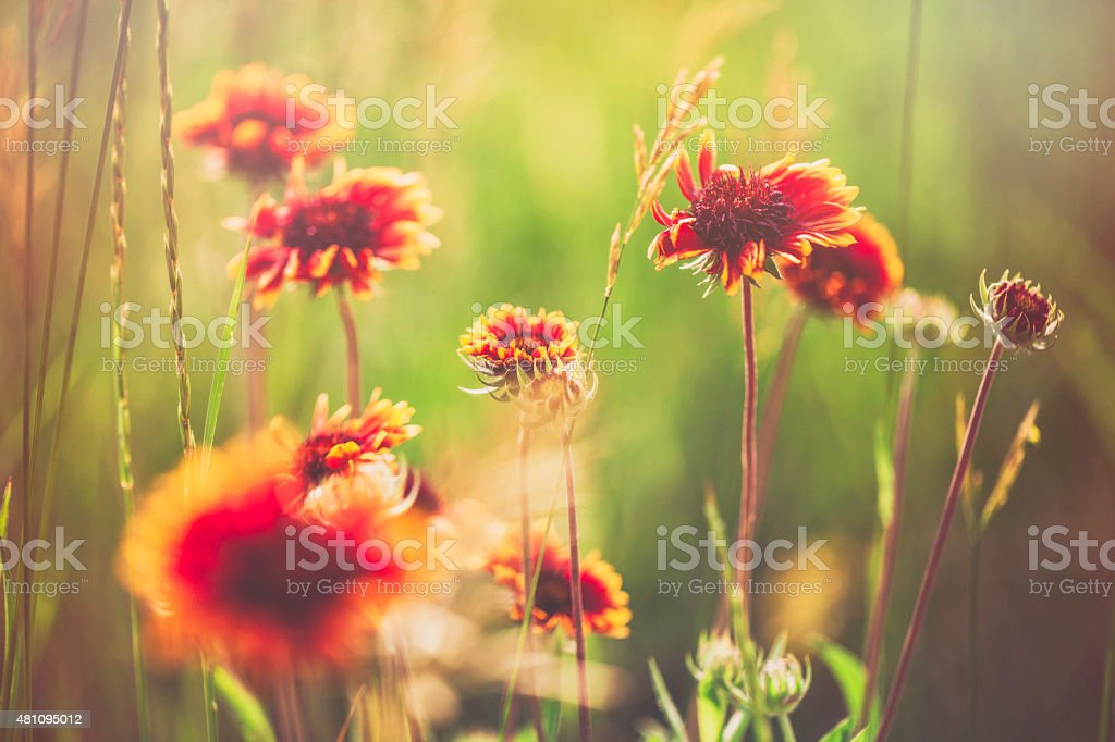 Gaillardia Arizona Sun flowers growing wild amongst long grass stock photo