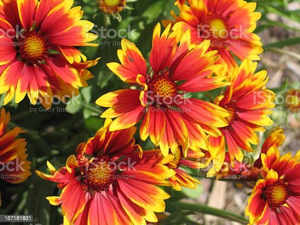 Gaillardia blossoms picture id157181831?b=1&k=6&m=157181831&s=612x612&h=moh8mlijwqdzvsictdx485ym 0yjp9zszhdkwcdpwxq=