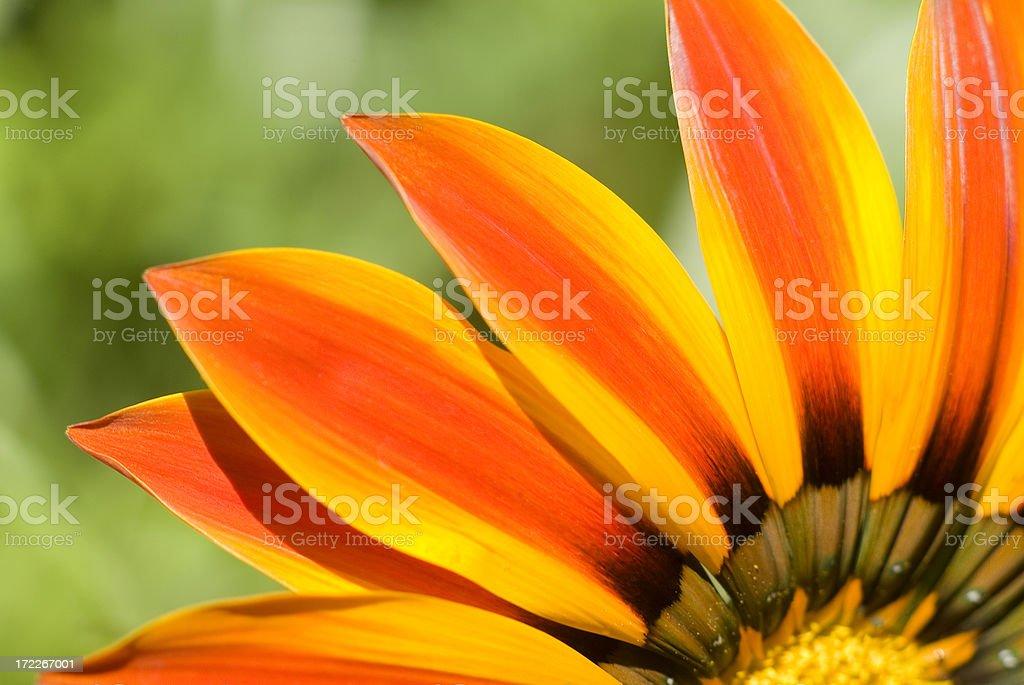 Gaillardia flower petals macro stock photo