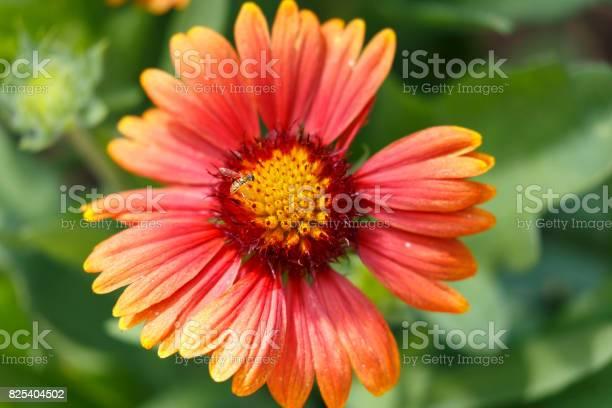 Photo of Gaillardia Goblin Blanket Flower