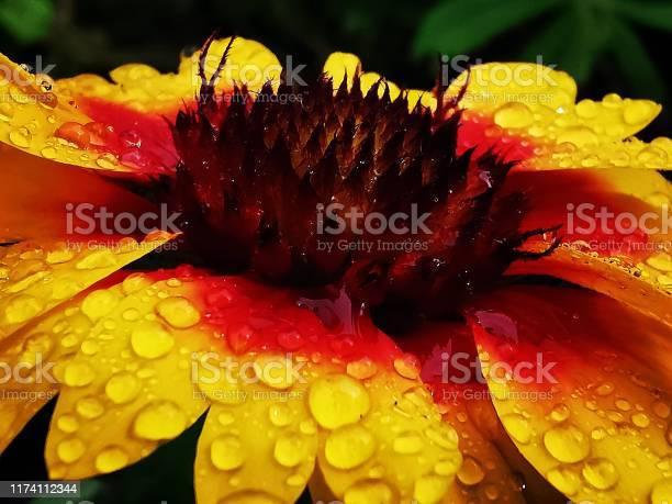 Photo of Gaillardia Goblin flower