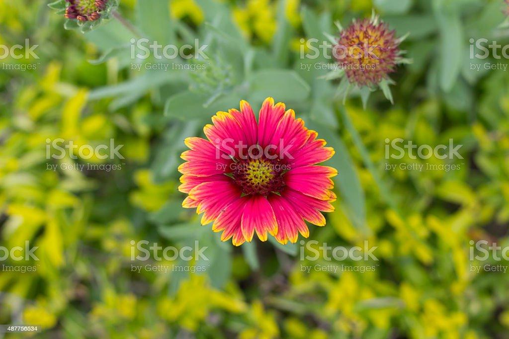 Gaillardia pulchella flower in gardent on green background stock photo