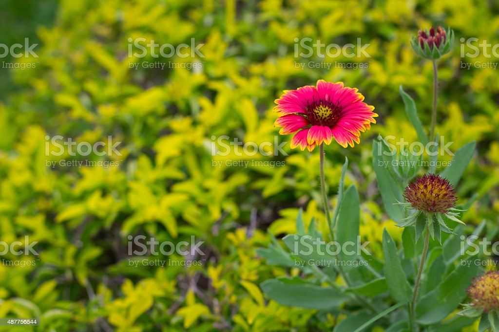 Gaillardia Pulchella Flower In Gardent On Green Background Royalty Free  Stock Photo