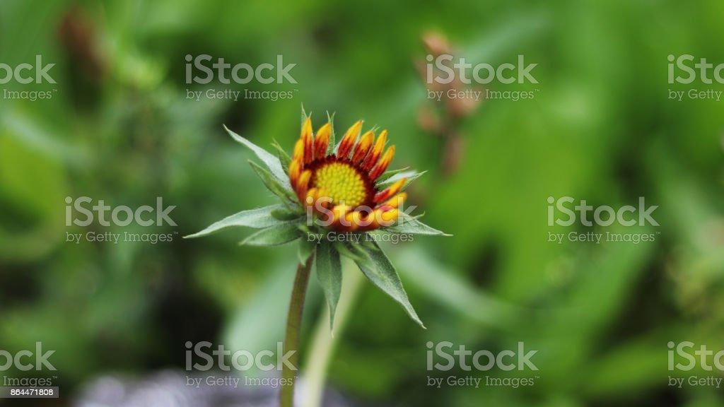 Gaillardia pulchella stock photo