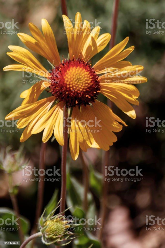 Gaillardia Pulchella, sunflower head with bud stock photo