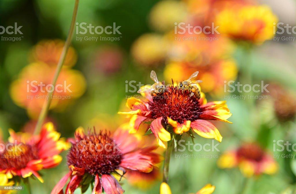 Gaillardia pulchella with bee stock photo
