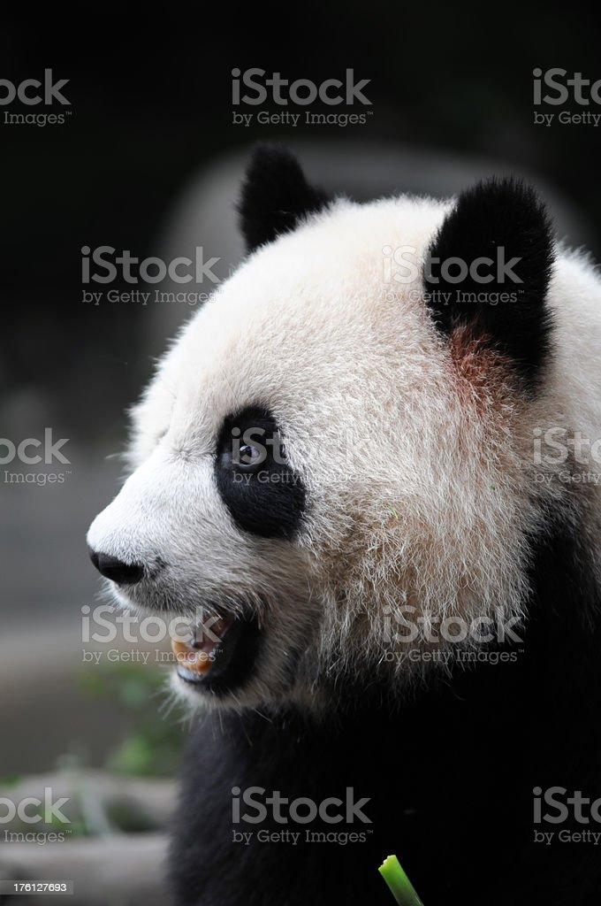 Gaint Panda  - XLarge stock photo