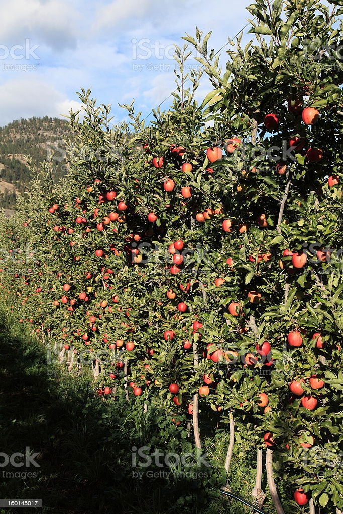 Gala Apples in an orchard. royalty-free stock photo