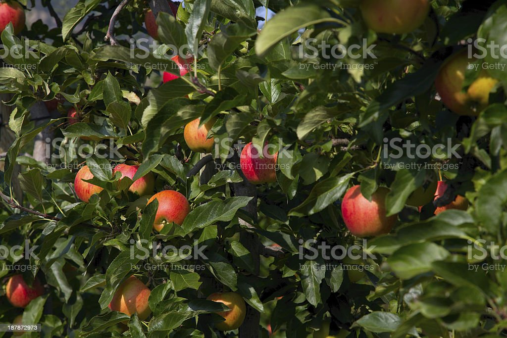 Gala Apples on a branch. stock photo