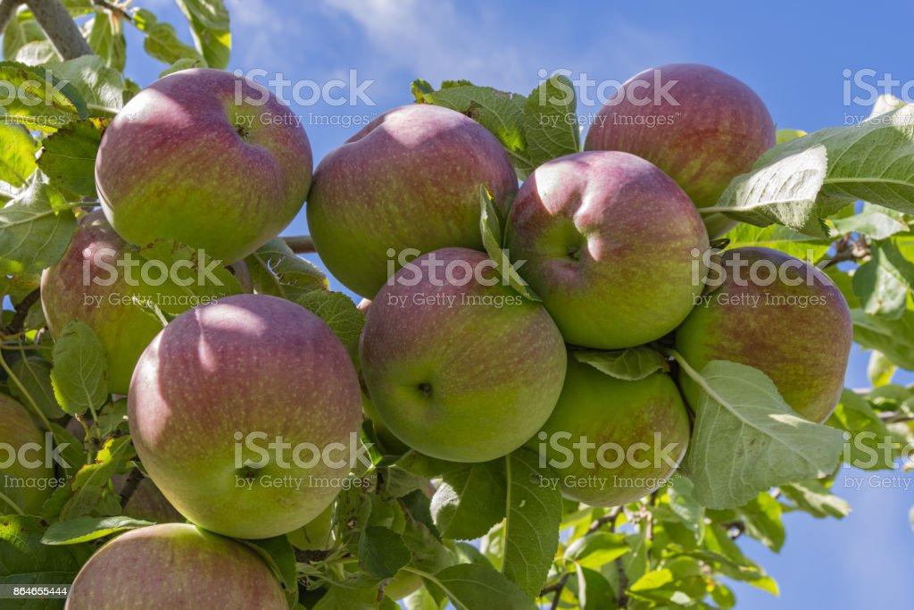 Gala Apples on the tree Okanagan Valley near Kelowna British Columbia Canada stock photo