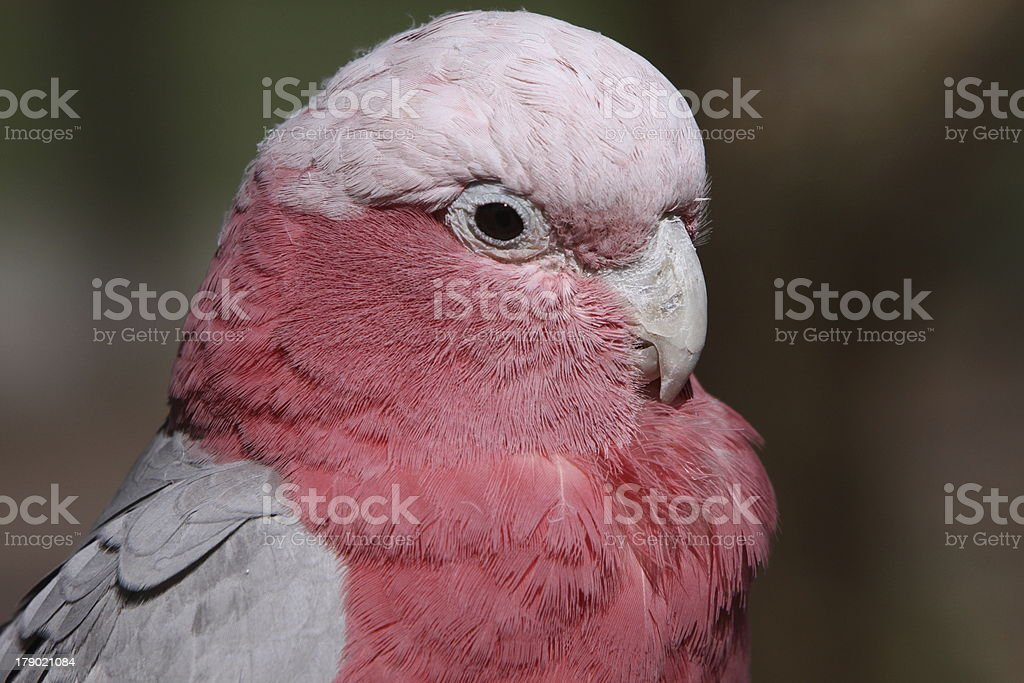Galah cockatoo royalty-free stock photo