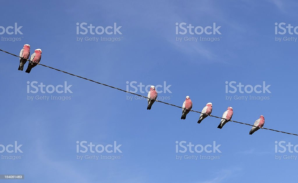 Galah (Cacatua roseicapilla) Cockatoos. Oberon. NSW. Australia. stock photo