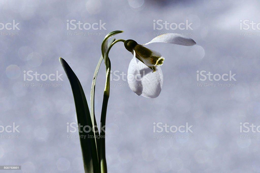 Galanthus elwesii stock photo