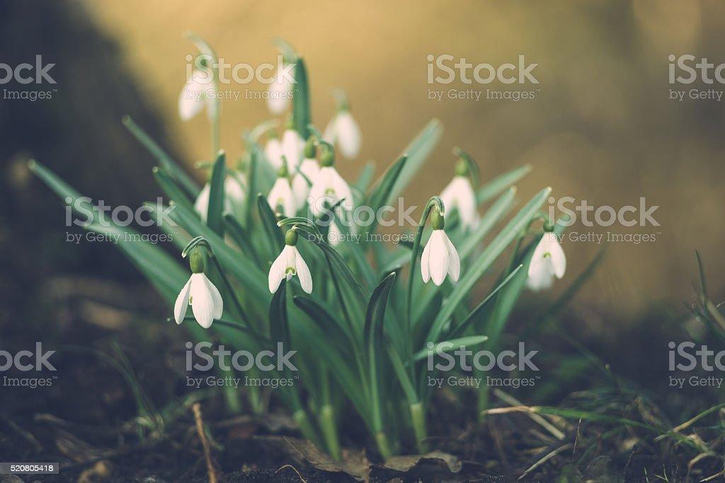 Schneeglöckchen windflower nivalis oder gemeinsame Galanthus Blumen – Foto