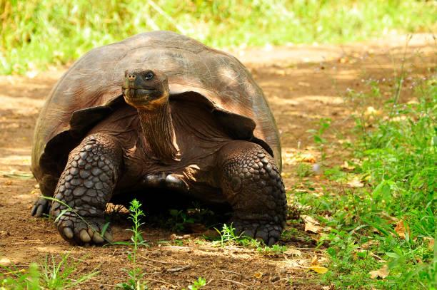 Galapago Tortoise stock photo
